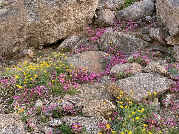 Just a little higher, at 1,400-1,500'.  Mimulus bigelovii and Eschscholzia parishii.  I spotted this hillside driving in Sunday and made sure I found the spot today.