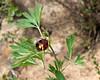 Paeonia californica (California peony).