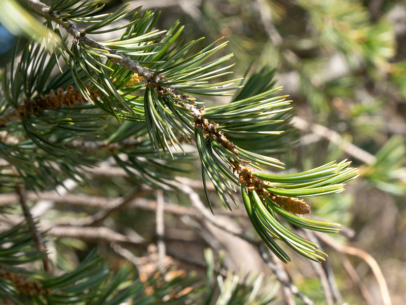 Pinus quadrifolia (Parry pinyon pine).  I was at a loss to identify this short needle pine, mostly with clusters of 5, when I saw it.  Some Parry pinyons have clusters of 4, hence the Latin name.  Jepson treats the 4's and 5's as species variation, but some break out the 5's as P. juarezensis.