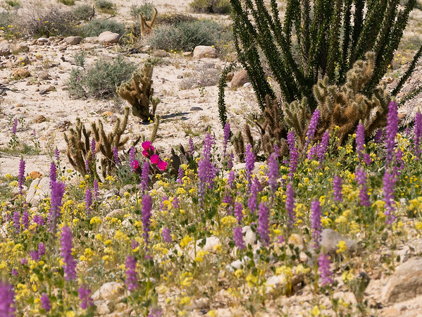 Arizona lupines, brown eyes, and beavertail cactus are in bloom here, although only a few spots have this much of a floral carpet.  The lupine leaves look pretty dry too.