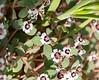 Euphorbia melanadenia (red-gland spurge).