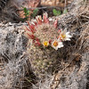 Mammillaria dioica (fish-hook cactus, strawberry cactus).