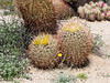 Ferocactus cylindraceus (California barrel cactus), with a nice hedgehog cactus in the background.  This area had more blooming cactus than Palm Canyon.  Add a few popcorn flowers at the left and one Parish's poppy for good measure.