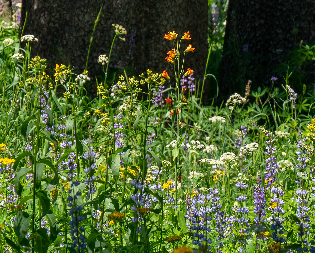 Lupines, groundsel, more yampah -- that trio was real common in some areas -- plus more alpine lilies.