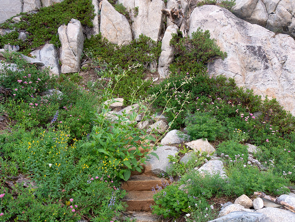The first five miles today followed Tilden Canyon Creek.  Then the trail climbs up the rocky ridge to the west.  Some of that climb had delightful flower gardens.  Lupines, spiraea, Monardella, some more poke knotweed, and a yellow composite I didn't know.