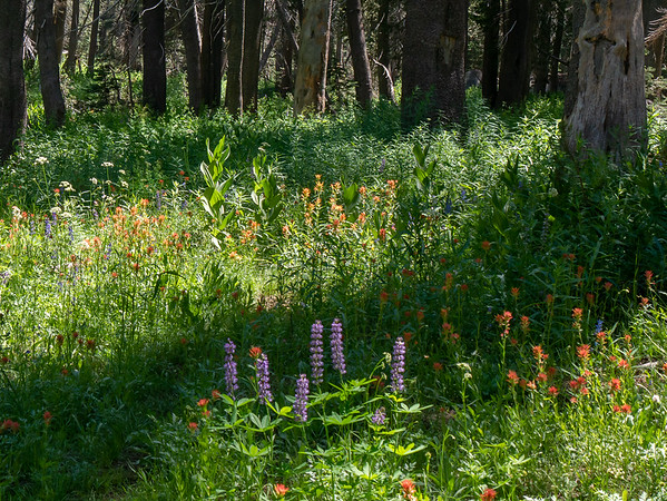 Lupines, paintbrush, and yampah.  Nothing uncommon.  Just continuous floral exuberance.