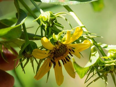 Asteraceae (Compositae) - Asteroideae/Helianthodae
