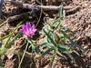 Stephanomeria lactucina (forest Stephanomeria).