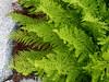 Athyrium distentifolium var. americanum (American alpine lady-fern).  Quite lacy.