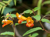 Impatiens capensis (orange jewelweed).  Unlike some of the others, I saw this in only a few scattered spots as we drove around over the last three days.  Lovely and native here in western Pennsylvania.