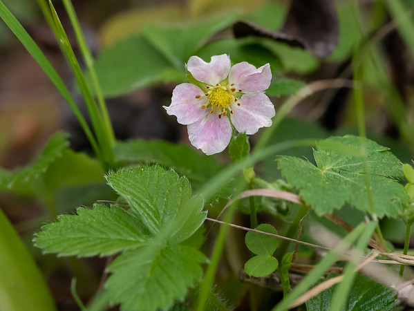Fragaria vesca (California strawberry).  This isn't a real flowery area but these were scattered about along part of the hike.   A few other familiar wildflowers -- shooting stars, hound's tongue, milkmaids -- were also out in spots.