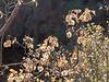 Ptelea crenulata (California hop tree).