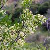 Ptelea crenulata (hop tree).