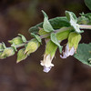 Lepechinia calycina (pitcher sage).