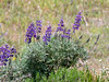 Lupinus albifrons (silver  bush lupine) with more popcorn flower.