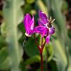 Primula hendersonii (woodland shooting star).   Still plenty of them in the shady nooks.