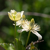Clematis lasiantha (chaparral clematis).  One bloomer is doing well down here.