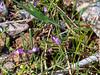 Collinsia sparsiflora (few-flowered Collinsia).