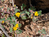 Acmispon wrangelianus (California lotus).  One of those I see a lot but often ignore with the camera.