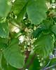Toxicodendron diversilobum (poison oak) was in bloom.