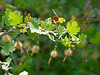 Ribes californica at LIttle Yosemite.  The same plant I shot in March.