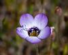 Gilia tricolor (bird's eye gilia).