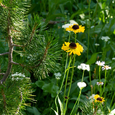 Helenium bigelovii (Bigelow's sneezeweed) out here too, with yampah and and aster (and lodgepole pine).