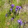Gentianopsis holopetala (Sierra gentian) was plentiful in this moist meadow.