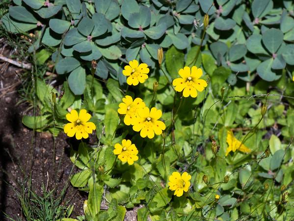 Erythranthe primuloides (primrose monkeyflower).  Flower markings and leaf veining support the identification.