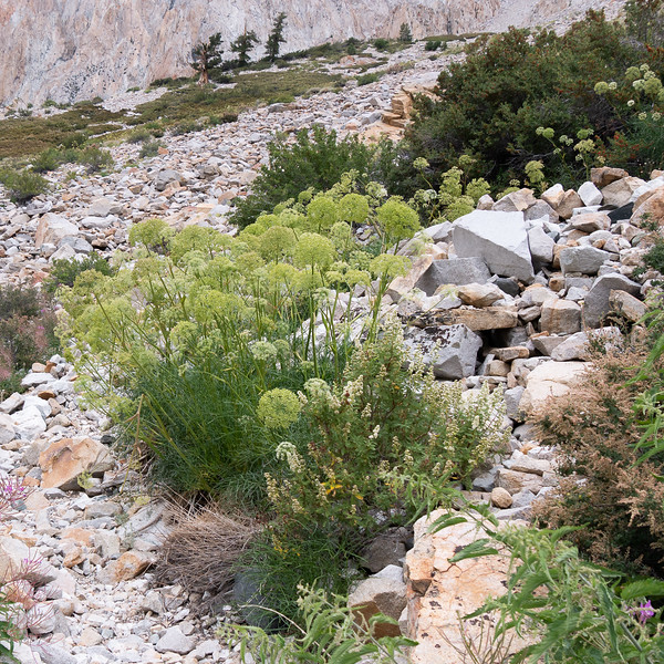 On the rocky climb from there.  The big seed heads are Angelica.  A little creambush (Holodiscus) at the right.  Fireweed at the margins.  But two other less expected things (for me) below ...