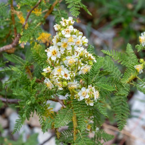 Chamaebatiaria millefolium (desertsweet, fernbush), the east-side cousin of the west-side's mountain misery.