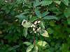 Cornus sericea (creek dogwood) berries.
