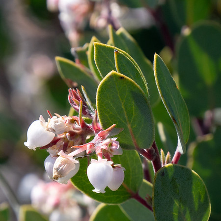 Arctostaphylos sp. (manzanita).  These were mostly in fruit, but there were a few residual blooms.