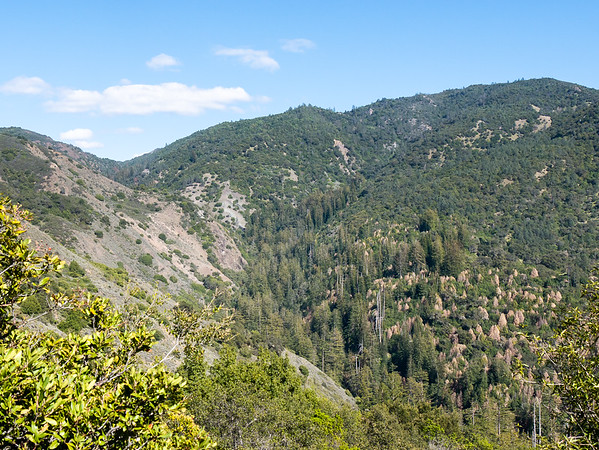 Over into the Villa Creek drainage now: the view up the valley toward the top of the Coast Ridge.  The brown trees at the right.  SOD is hitting hard.  The long descent was mostly open with much on slumping, uneven trail.  Sometimes the trail dipped under brush or trees.