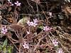 Claytonia exigua (serpentine springbeauty) on a hillside of serpentine.