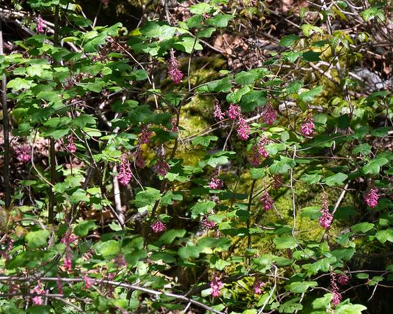 Ribes sanguinieum (red-flowering currant) by the crossing.  This  guy was huge, 15-20 feet high, very open, and almost woven into the understory.