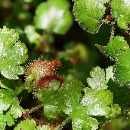 Ribes menziesii (canyon gooseberry).