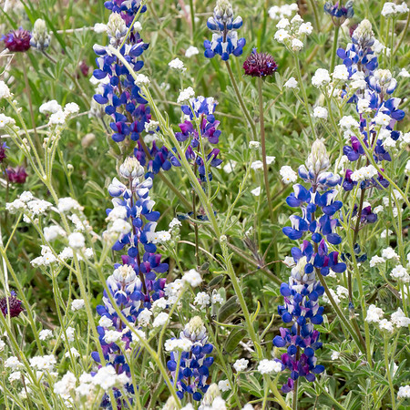 Lupinus bicolor (miniature lupine) with popcorn flower (Plagiobothrys or Cryptantha sp.) and chia (Salvia columbariae).