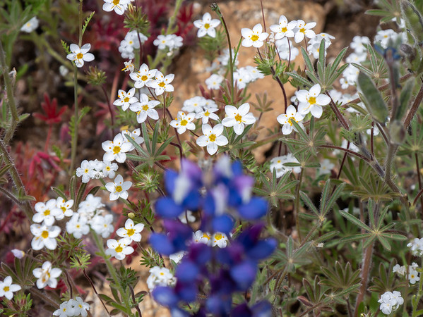 Add Leptosiphon sp., probably L. parviflorus, (common linanthus).  A few popcorn flowers in there too.