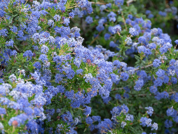Ceanothus papillosus (warty-leaved Ceanothus) in a patch of chaparral.  Lupines weren't the only blue up here. _