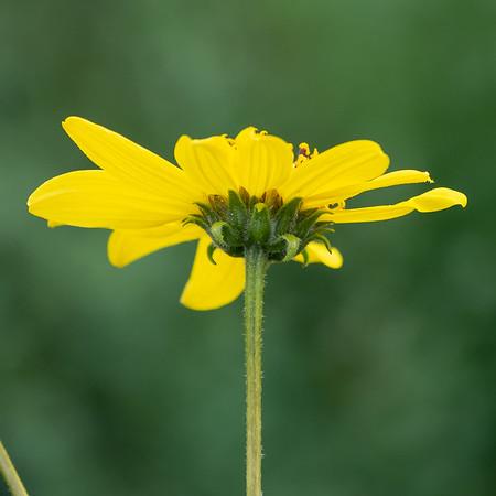 Helianthus gracilentus (slender sunflower) up close.