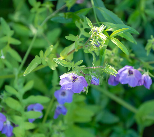 Pholistoma auritum (fiesta flower).