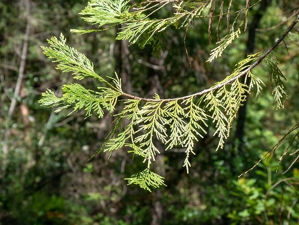 Calocedrus decurrens (incense cedar).