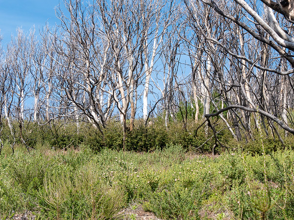 Elsewhere, the trail borders fields of chamise and manzanita, backed by dead oaks with new sprouts below.
