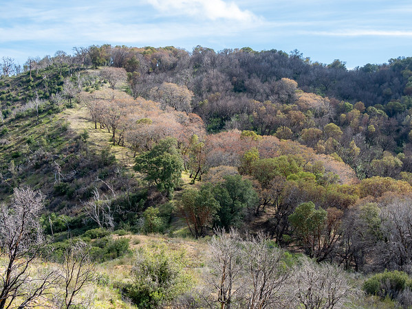 Lookiing back, lots of dead trees on Skinner Ridge, but not all is gone.  Those leafing-out oaks are rather attractive.