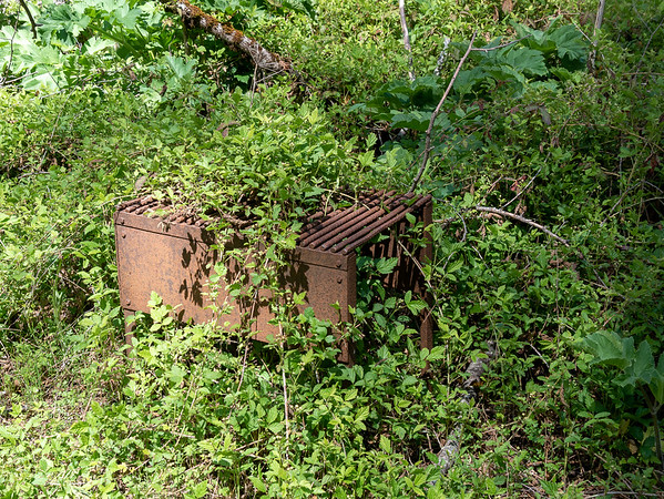 The Turner Creek Trail starts off wide open but gets brushier lower down by the stream.  Turner Creek Camp is buried in California blackberries (Rubus ursinus).  The old fire grate is serving as a fine trellis!
