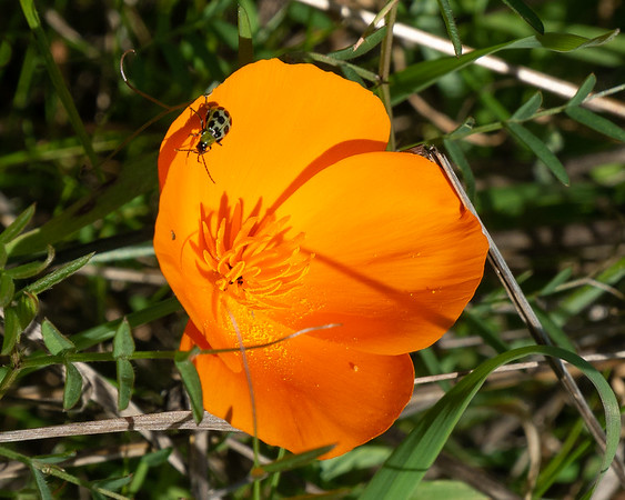 Eschscholzia californica (California poppy).  With the rains, there were a few poppies out today.  And this one had a visitor.  I think he's a spotted cucumber beetle (Diabrotica undecimpunctata).  I gather he's a significant agricultural pest.