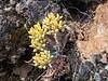 Dudleya cymosa, probably ssp. paniculata  (Diablo Range dudleya).