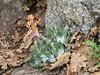 Dudleya cymosa  (canyon dudleya) in a warm exposure as I climb above Buck Creek.