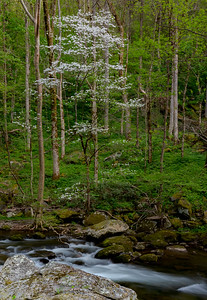 Spring Dogwood Little River